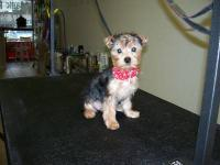 Beautiful AKC registered Toy size male Yorkie puppy