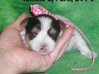 Beautiful AKC Pups, dob 7/19, Taking deposits.. Will