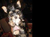 "AKC traditional female Yorkie name"" Miss Sassy"" for"