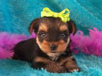 I have a male traditional male yorkie puppy that
