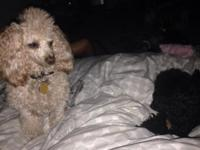 Pharaoh is a 2 yr old Registered Toy Poodle, apricot in