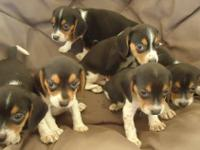 3 female and 3 male tri-color, beagle puppies for
