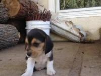 AKC Tri Colored Beagles. Price is FIRM. Parents on