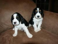 We have two adorable AKC Tri color English springer