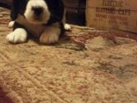 2 AKC Male Tri-color English Springer Spaniel puppies