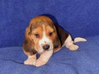 AKC reg. tri. color male beagle puppy. Nice