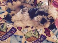 Adorable Tri color Shih-Tzu male Cute funny lil guy