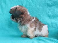 Beautiful Shih Tzu Boy Puppy. Father 5 pounds, Mother