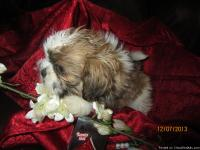 AKC registered beautiful tri colored (chocolate, gold,