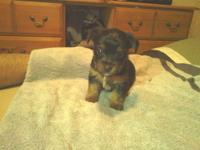 Price-reduction $600 -AKC tri-colored Yorkie puppy. She