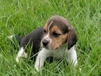 Beautiful akc reg. tri color male beagle puppy. He is