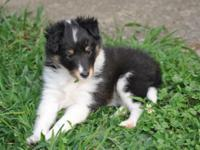 Asher- AKC Tri color Sheltie (Male) This little Tri