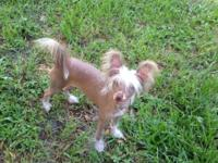 AKC Choc/White Male True Hairless Pup. 7 mos old,