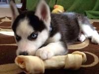 Akc Ty Blue Eyes Siberian Husky babies,Have you ever