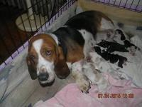 AKC & UKC BASSET HOUND PUPPIES - Now taking deposits.