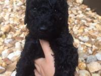 Wonderful AKC/UKC Black standard poodle puppies.