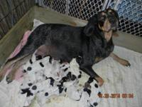 Akc & Ukc Bluetick Coonhound Puppies - Now Taking
