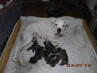 AKC & UKC Boxer Puppies - Now Taking Deposits. D.O.B.