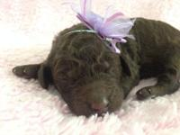 We have two AKC/UKC SOLID Brown Standard Poodle Girls-
