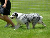 1 year old, Blue Merle, Male, Show/Breeder AKC/ UKC CH