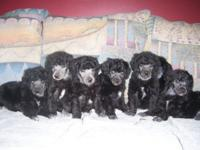 Attractive Champion Sired Criterion Poodle puppies.