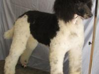 I have a beautiful male parti poodle for a pet home. He