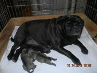 Pug Puppies Taking Deposits Now. D.O.B. 10-14-15 ,AKC &
