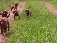Double Registered Redbone puppies, first chances and