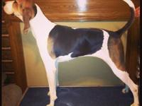 We have a very sweet Treeing walker coonhound that is