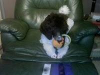 Dual registered Parti poodle girl with excellent