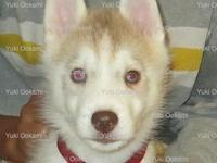 **1 female puppy left** AKC/ UKC Siberian husky puppy