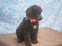 I have 7 standard poodle puppies that will be 8 weeks