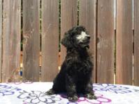 Beautiful Standard Poodle Puppy ~ Silver Female 8 weeks