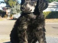 AKC / UKC reg. Standard Poodle Puppy Beautiful 8 week
