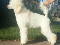 AKC / UKC Standard Poodle Puppy ~ White Show Female