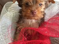 11 week old Yorkshire Terrier Chocolate color. She was