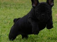 Beauty AKc registered very rare solid black french