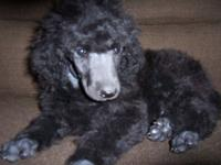 AKC reg tiny Basic black Poodle Girl. This young puppy