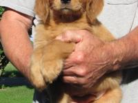 AKC/VET REG Golden retriever puppies for