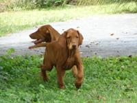 Vizsla's are very affectionate, loyal, intelligent with