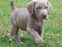 AKC Weimaraner puppy Silver/Grey Male 8 weeks old Tail