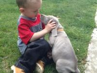 AKC Weimaraner puppies Silver/Grey Males and Females
