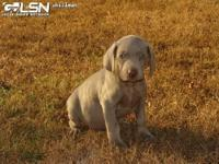 We have 4 lovely AKC Weimaraner young puppies left. We