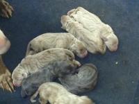 AKC Weimaraner puppies Birth date 6-30-15 3 silver gray