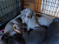 We currently have 3 silver males available. They will