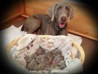 Beautiful AKC Registered Weimaraner puppies, raised in