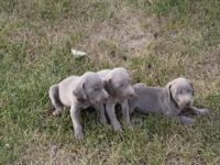 We have 3 Silver male Weimaraner pups for sale. They