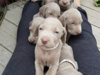 Pedigree AKC Weimaraners born March 18th. These