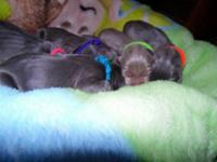 I have Weimaraner pups that will be ready aug.12.2015