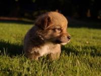 Adorable AKC Pembroke Welsh Corgi pups.Born June 27th 2